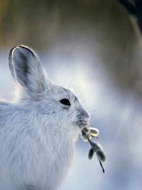 Snowshoe Hare (Lepus Americanus) Slana, Alaska by Michael S. Quinton