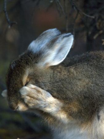 Snowshoe Hare (Lepus Americanus) by Michael S. Quinton
