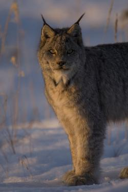 Twilight Portrait of a Canadian Lynx, Lynx Canadensis, in Snow by Michael S. Quinton