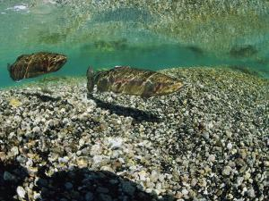 Two Rainbow Trout Swim in a Shallow Stream Above Sunlit Gravel by Michael S. Quinton