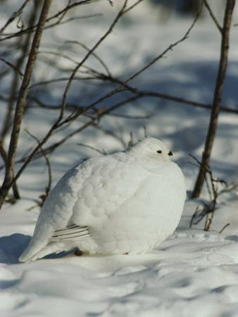 White-Tailed Ptarmigans Blending with the Snow by Michael S. Quinton