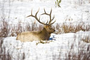 Bull Elk resting in snow, Colorado, USA by Michael Scheufler
