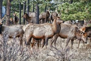 Herd of Elk, Colorado, USA by Michael Scheufler