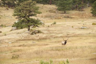 Lonely Bull Elk, Colorado, USA