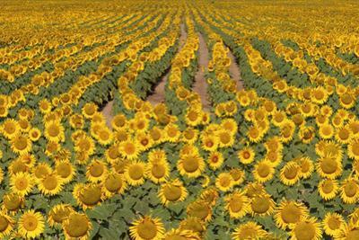 Sunflower (Helianthus Annuus), Kansas, USA