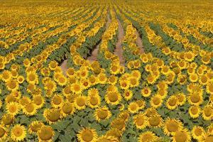 Sunflower (Helianthus Annuus), Kansas, USA by Michael Scheufler