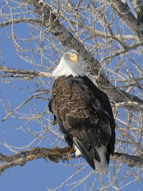 USA, Kansas, Bald Eagle Perched in tree. by Michael Scheufler