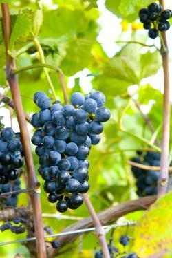 USA, Kansas, Grapes at Kansas Winery. by Michael Scheufler