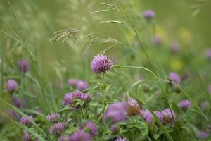 USA, Kansas, Kansas Clover Flower. by Michael Scheufler