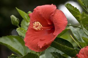 USA, Kansas, Red Hibiscus. by Michael Scheufler