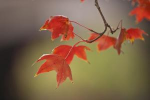 USA, Kansas, Red Leaves in early fall. by Michael Scheufler