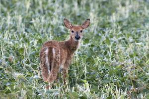 USA, Kansas, Small whitetail deer. by Michael Scheufler