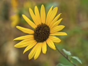 USA, Kansas, Sunflower Close-up. by Michael Scheufler
