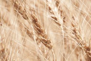 USA, Kansas, Wheat at Harvest Time. by Michael Scheufler