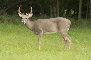 USA, Kansas, Whitetail Buck. by Michael Scheufler