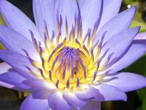 Water Lilly, Kansas, USA by Michael Scheufler