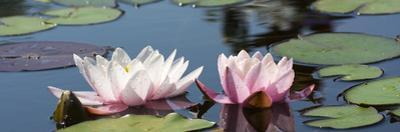 Water Lilies by Michael Shake