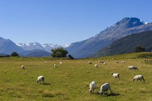 Sheep Grazing on a Green Field by Michael