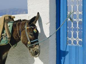 Donkey, Thira, Santorini, Cyclades Islands, Greece, Europe by Michael Short