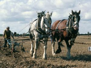 Ploughing with Shire Horses, Derbyshire, England, United Kingdom by Michael Short