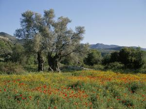 Spring Flowers and Olive Trees on Lower Troodos Slopes Near Arsos, Cyprus by Michael Short