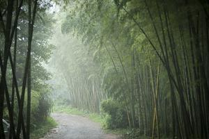 Bamboo Forest, Sichuan Province, China, Asia by Michael Snell
