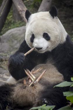 Chengdu Research Base of Giant Panda Breeding, Chengdu, Sichuan Province, China, Asia by Michael Snell