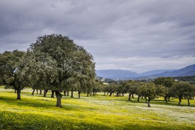 Dehesa Landscape, Caceres, Extremadura, Spain, Europe by Michael Snell