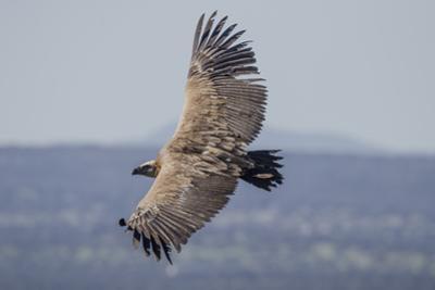 Griffon Vulture, Castillo de Monfrague, Monfrague National Park, Caceres, Extremadura, Spain, Europ by Michael Snell