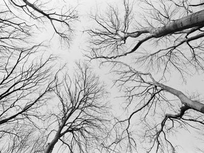 Leafless Trees in Thiepval Wood