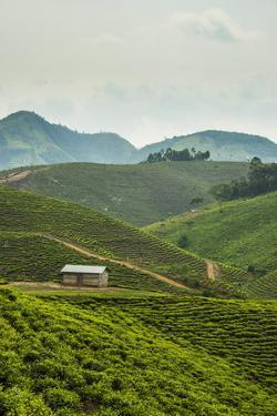 Tea Plantation in the Mountains of Southern Uganda, East Africa, Africa by Michael