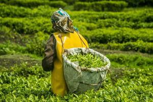 Tea Plantation in the Virunga Mountains, Rwanda, Africa by Michael