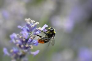 early bumblebee, Bombus pratorum, common lavender, Lavandula angustifolia by Michael Weber