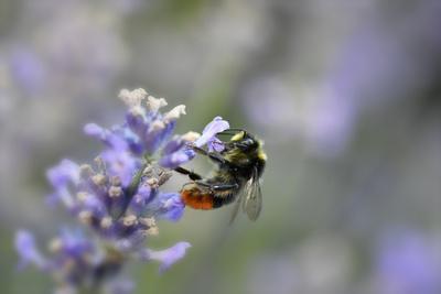 early bumblebee, Bombus pratorum, common lavender, Lavandula angustifolia