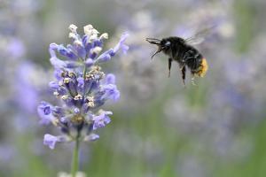 early bumblebee while floungers, Bombus pratorum, common lavender, Lavandula angustifolia by Michael Weber