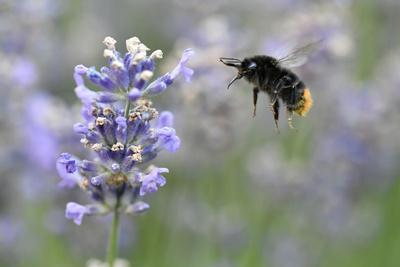 early bumblebee while floungers, Bombus pratorum, common lavender, Lavandula angustifolia