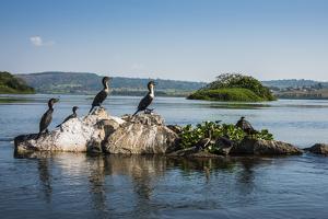 White-Breasted Cormorants (Phalacrocorax Lucidus) by Michael