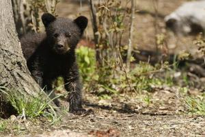Black Bear Cub by a Tree by MichaelRiggs