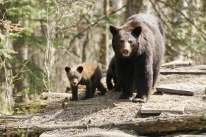 Black Bear with Cubs on a Wood Pile by MichaelRiggs