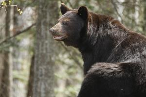 Gazing Black Bear by MichaelRiggs