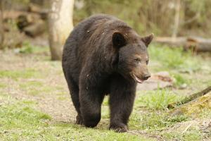 Roaming Black Bear by MichaelRiggs