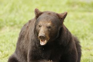 Snarling Black Bear by MichaelRiggs