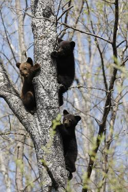 Three Black Bear Cubs in a Tree by MichaelRiggs