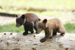 Two Black Bear Cubs on a Log by MichaelRiggs