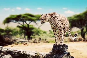 A Wild Cheetah about to Attack, Hunt, Sitting on a Dead Tree. Safari in Serengeti, Tanzania, Africa by Michal Bednarek