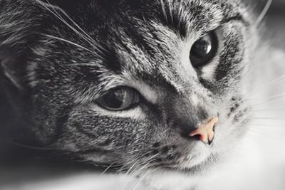 Cute Cat Lying in Lazy, Sleepy Pose Looking at the Camera with its Magnetic Eyes. close Portrait. B by Michal Bednarek