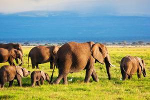 Elephants Family and Herd on African Savanna. Safari in Amboseli, Kenya, Africa by Michal Bednarek