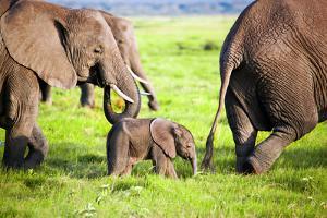 Elephants Family on African Savanna. Safari in Amboseli, Kenya, Africa by Michal Bednarek