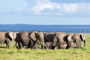 Elephants Herd on African Savanna. Safari in Amboseli, Kenya, Africa by Michal Bednarek