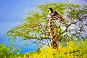Giraffe 'S Head Standing Out From The Bush. Safari In Tsavo West, Kenya, Africa by Michal Bednarek
